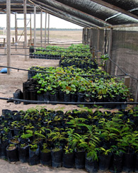 Seedlings ready to be planted  to regrow destroyed parts  of the Amazon rainforest