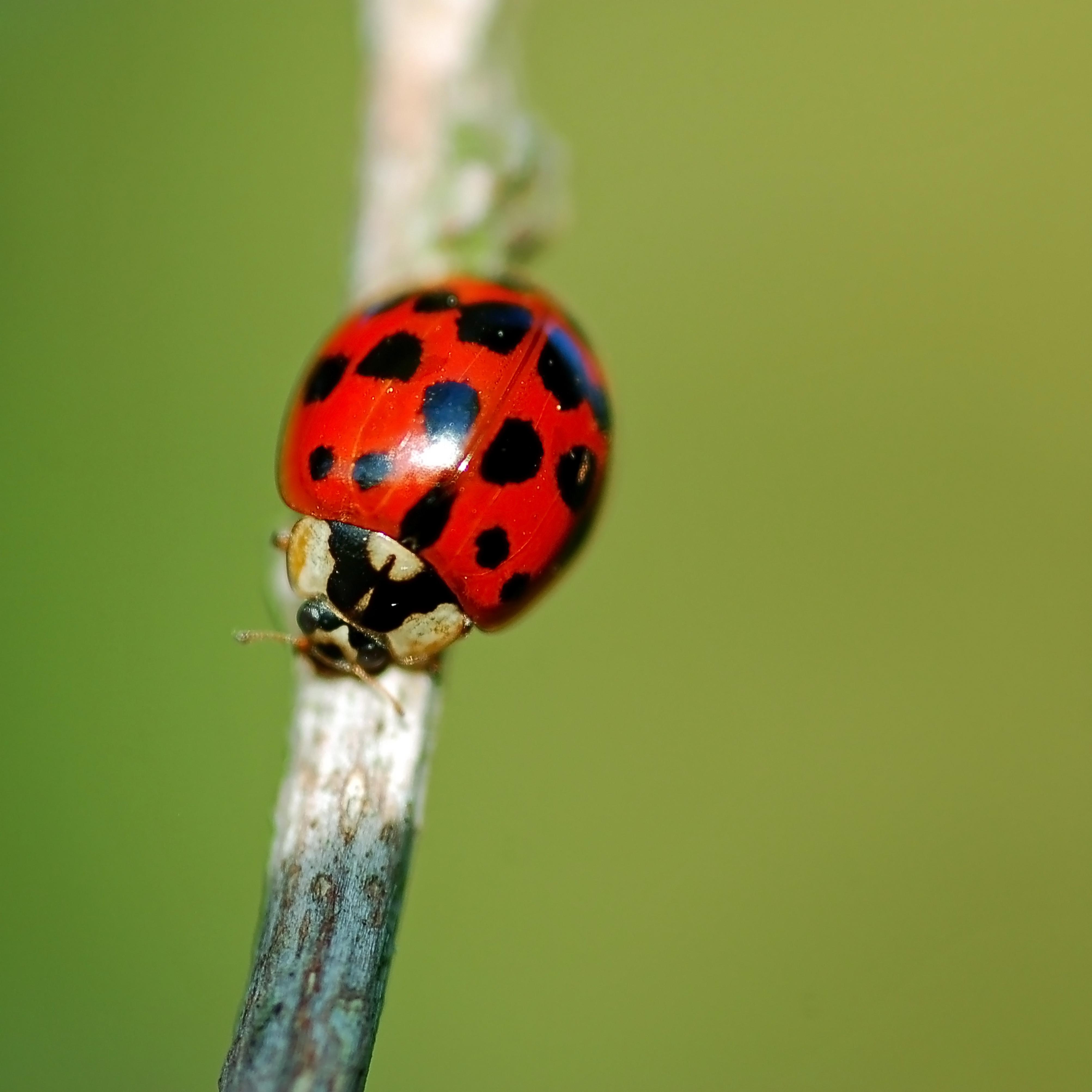 Harlequin ladybird: (c) Shutterstock
