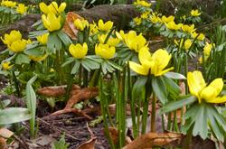 Crocus flowers in spring, image: Shutterstock