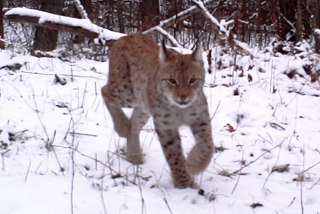 Lynx photographed by wildlife trap camera in Chernobyl exclusion zone