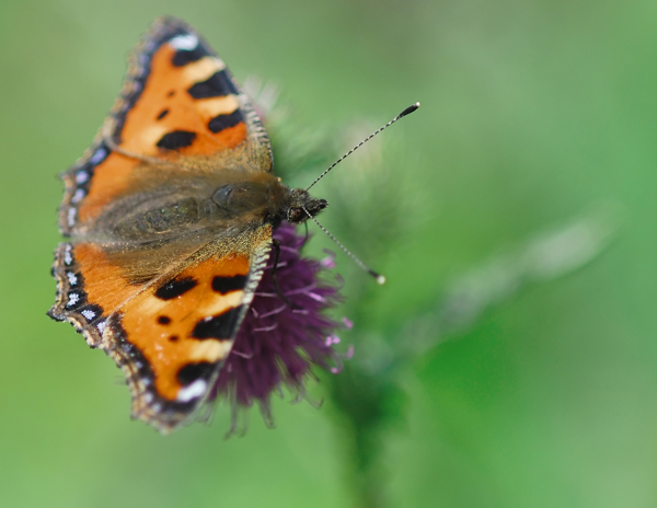 The Small tortoiseshell butterfly is one of five common insects you  can learn about and record at our stand.