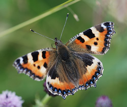 Small tortoiseshell butterfly - Photo by Ross Newman