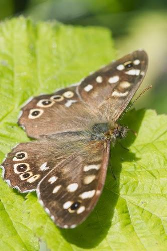 Speckled wood butterfly, photo: Shutterstock
