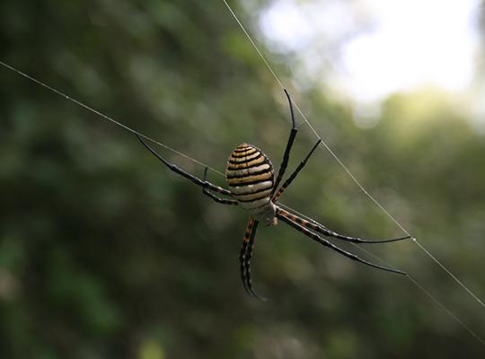 Argiope spider, Akrotiri forest, photo courtesy of Mari Onete