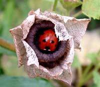 Ladybug in spring