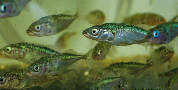 Three-spined sticklebacks (Gasterosteus aculeatus)