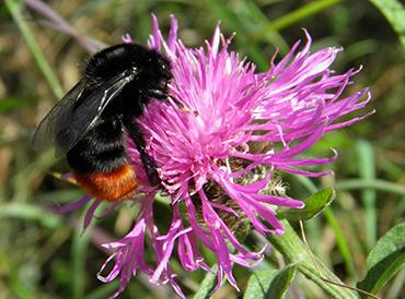 Bombus lapidarius bee on flower