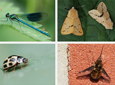 Collage of 4 insect species