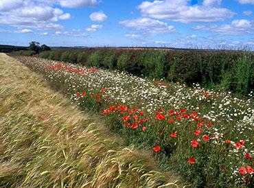 Wildflower margin Photo: Richard Pywell