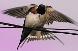 Swallows photo: shutterstock.com