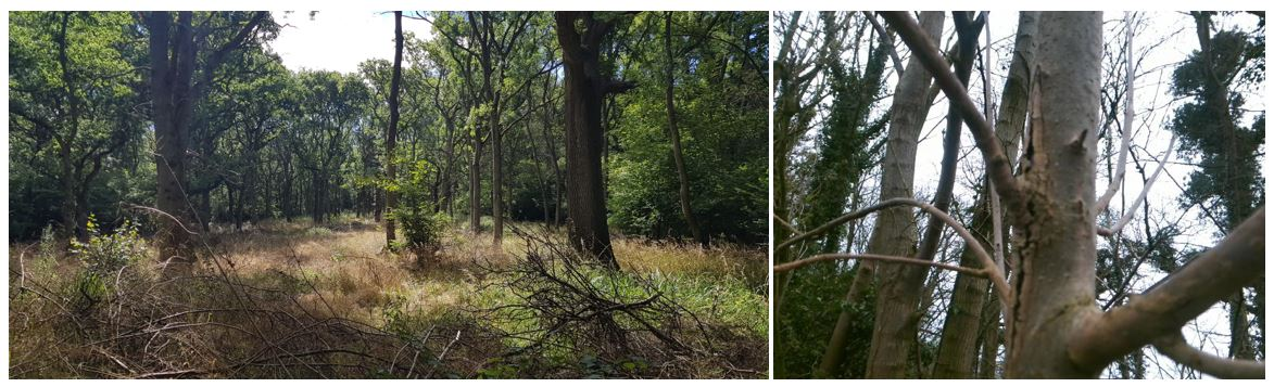 Two photos showing a woodland and ash dieback effects on a tree